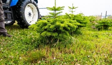 Le couvert végétal permanent entre les sapins favorise la biodiversité protectrice et lutte contre l'assèchement